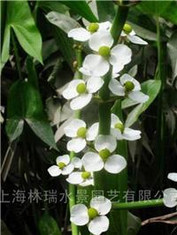 水生植物·慈菇